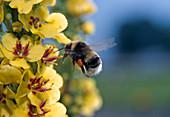 Bombus hortorum (garden bumblebee) on mullein