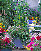 Plant Hellila pots with Lathyrus