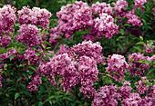Lila Blüten von Syringa chinensis (Königsflieder, duftend)