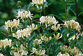 White flowers of Lonicera periclymenum 'Graham Thomas'