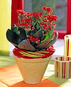 Kalanchoe blossfeldiana 'Calandiva Red' (Blazing Katy)