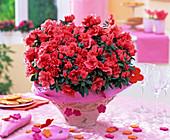 Rhododendron simsii 'Christine Siena' (Room Azalea)