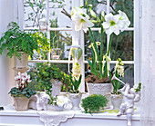White winter window with Hippeastrum, Hyacinthus