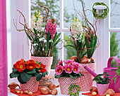 Hyacinthus (Hyacinth), Primula acaulis