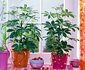 Schefflera arboricola (dwarf umbrella tree) in metal pots