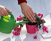 Nursing dried out cyclamen back to health
