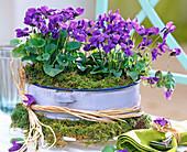 Viola odorata (fragrant violet) in enamel bowl