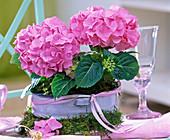 Hydrangea (Pink Hydrangea) in enameled bowl