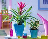 Guzmania, pineapple in conical, blue pots