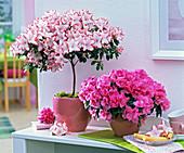 Rhododendron simsii (room azalea), stems and bush