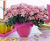 Rhododendron simsii (Zimmerazalee)