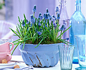 Muscari (grape hyacinth) in Grandma's ring cake form