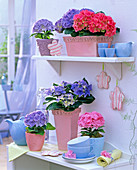 Hydrangea in blue, red and pink