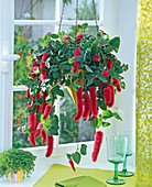 Acalypha hispida, as a flower basket in the window
