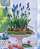 Muscari (Grape Hyacinth) in cornus wreath