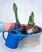 Amaryllis in Jardiniere pflanzen: 3/4