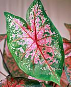 Rot-grün gemustertes Blatt von Caladium (Buntblatt)
