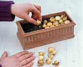 Plant bulbs in boxes for greenery