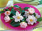 Camellia 'Hagoromo' (camellia) flowers and leaves of , pink