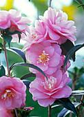 Camellia Hybrid 'Spring Festival' (Camellia)