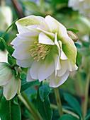 Helleborus Gold Collection 'Double Surprise' flower