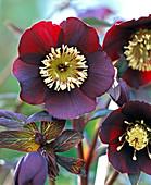 Blossom of Helleborus Gold Collection 'Merlin'