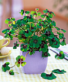 Oxalis deppei (lucky clover) in square pastel purple pot