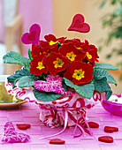 Red Primula acaulis in wrapping paper with heart motifs