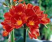 Hellrote Blüten von Clivia (Klivie)