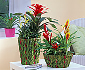 Vriesea and Guzmania in potted braids woven from green raffia