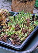 Carex morrowii (Morrow's sedge), pieces to be potted