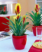Vriesea (flaming sword) in red planter on the table