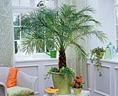 Phoenix roebelenii with Ficus pumila 'Sunny'