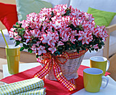 Rhododendron simsii (room azalea, white with red border in basket