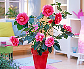 Camellia japonica 'elegans' in red planter in the living room