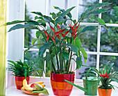 Heliconia (Hummerschere), Chlorophytum laxum (Grünlilie) und Guzmania