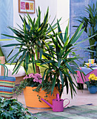 Yucca, Kalanchoe, Ficus pumila 'Sunny'
