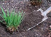 Share Molinia altissima (reef whistle grass) parts (rejuvenate 2/4)