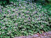 Symphytum caucasicum 'Azureum' (comfrey)