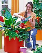 Frau wischt Blätter von Philodendron (Baumfreund) feucht ab