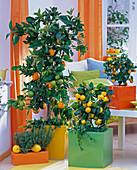 Citrus sinensis (Orange) and Citrus X mitis (Calamondin orange)