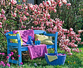Blue wooden bench in front of Magnolia soulangeana (Tulip Magnolia)
