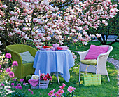 Wicker chair and table in front of Magnolia soulangeana (Tulip Magnolia)