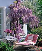 Wisteria sinensis (Chinesischer Blauregen) blühend am Haus