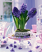 Blue Hyacinthus orientalis combined with lace ribbon