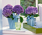 Blue Hydrangea macrophylla in blue relief planters