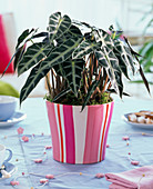 Alocasia (arrow leaf) in pink and white striped planter