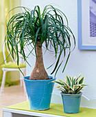 Beaucarnea recurvata, pineapple comosus