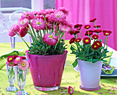 Bellis perennis in pink and white planter