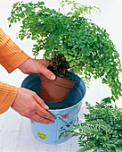 Immerse whole Adiantum raddianum pot in water
